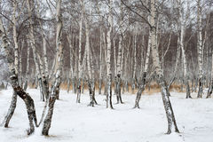 Birch forest in winter Stock Image