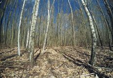 Birch forest after winter Royalty Free Stock Photos