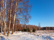 Birch forest in  winter day Stock Photo