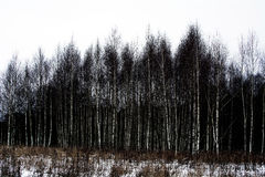 Birch forest. Birch winter february naked forest Royalty Free Stock Photos