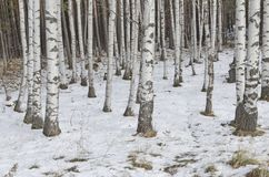Birch forest at winter Royalty Free Stock Photos