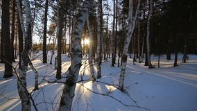 Birch forest in winter. Panorama in the birch forest in winter. Beautiful landscape of sunny, winter forest stock video footage