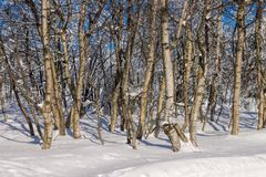 Birch forest in winter Royalty Free Stock Photo