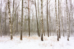 Birch Forest In Winter. Birch Woods Forest Grove In Winter. Russian Nature Royalty Free Stock Photography