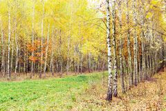 Birch wood with yellowed leaves Stock Images