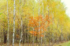Birch wood with yellowed leaves Stock Photography