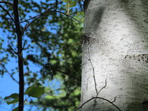 Birch. Forestry kingdom. Birch trunk. summer Royalty Free Stock Photo