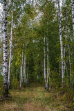 Birch form a path. In the forest distance Royalty Free Stock Photo