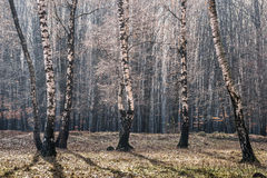 Birch forrest royalty free stock photography