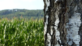 Birch. In front of field - landscape Stock Photos