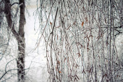 Birch in frost Royalty Free Stock Photo