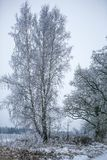 Birch with frost Stock Photos