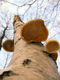 Birch fungus from below. A common birch fungus, known as razor strop (Piptoporus betulinus), photographed from below Royalty Free Stock Photo