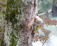Birch fungus on the tree Stock Images