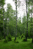 Birch glade. A serene birch glade in late spring stock photos
