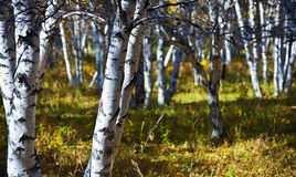 Birch. Graphical background built by birch trees in autumn Stock Photography