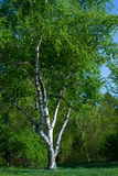 Birch on a green law. Stock Image