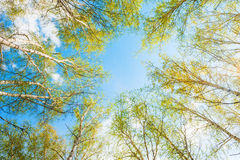 Birch with green leaves in spring forest against the sky. Royalty Free Stock Photography