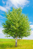 Birch on green meadow Stock Image