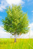 Birch on green meadow Royalty Free Stock Images