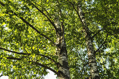 Birch with green sheet Royalty Free Stock Photos