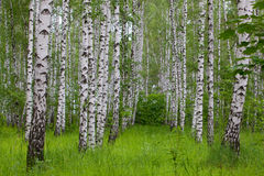 Birch green wood. Summer morning Stock Photography