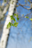 Birch with green young foliage Stock Photography