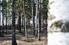 Birch grove. With pines and close up Royalty Free Stock Photos