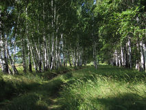 Birch grove. Stock Image