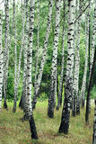 Birch grove Stock Image