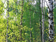 Birch grove. Royalty Free Stock Photo