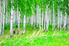 Birch grove. The image of birch grove Stock Photos