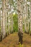 Birch grove Stock Photos
