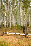 Birch grove Royalty Free Stock Images