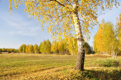 Birch Grove. Royalty Free Stock Images