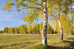 Birch Grove. One birch on the edge of the field royalty free stock image