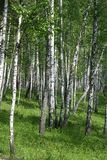 Birch grove. Green birch grove in summer Royalty Free Stock Photography