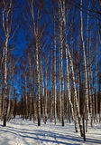 Birch grove Royalty Free Stock Photos
