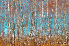 Birch grove Stock Images