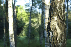 Birch grove. Birchwood in the russian wood early in the morning Stock Image