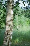 birch grove Obrazy Royalty Free