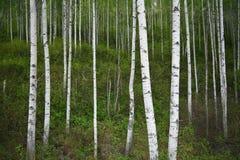 Birch Grove. White birch trunks among green spring vegetation Royalty Free Stock Photos