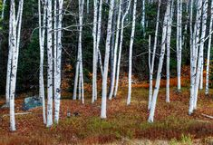 Birch grove royalty free stock image