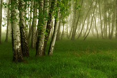 Birch grove. In pride of the morning Royalty Free Stock Images