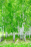 The birch grove Royalty Free Stock Photography