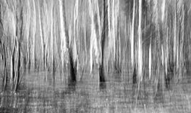 Birch Grove Abstract Stock Photo