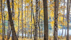 Birch grove against the lake on sunny autumn day stock photography
