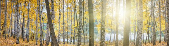 Birch grove against the lake on sunny autumn day, landscape royalty free stock photos