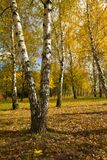 Birch grove in autumn Royalty Free Stock Images