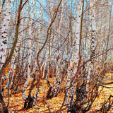 Birch grove by autumn Stock Image